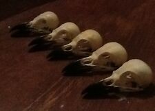 3 lots Real magpie crow skull Wicca goth  pagan Curo taxidermy arts craft bird