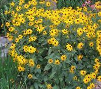 i! HIRTA gelb !i Gartenblume Blütenpflanze Blumenbeet winterharte Staude.
