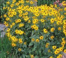 winterharte Pflanze frosthart Garten Blumensamen Balkon i! die GELBE HIRTA !i