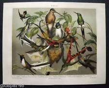1890 ANTICA.STAMPA.CROMOLITO*COLIBRI - UCCELLI*32 x 245