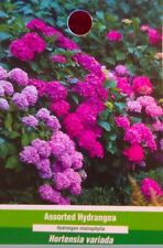 Assorted Hydrangea Pink Purple Red Blue Large Flower Plant Easy Grow Plants Now