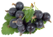 Jostaberry Plant  -Ships Fully Rooted in Soil - 3 way gooseberry/Currant cross