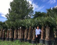 1 x 7-8ft 110-120tr Premium Trachycarpus Fortunei Palm Tree in 70 ltr pot