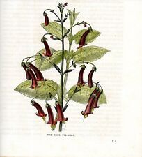 Stampa antica FIORI Phygelius rectus Moonraker 1903 Old antique print flowers