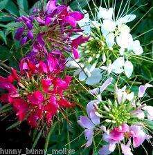Cleome Spider Mix, 50 seeds, Attractive flower display
