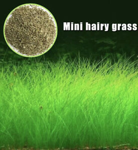 Aquarium Plant Seeds Aquatic Hair Grass Carpet Water Grass Fish Tank Aus Stocks