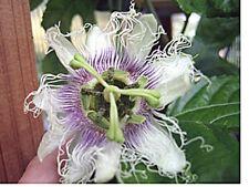 Passiflora ssp Pink Cheek 10 seeds