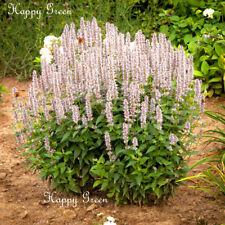 GIANT HYSSOP WHITE- 600 SEEDS - Agastache Mexicana - Perennial flower