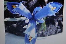 10 Graines bleue Iris nain, Iris reticulata#414