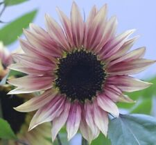 10+ Rare Pink, Red, Or Purple Sunflower Seeds. Colors Vary *guaranteed to grow*