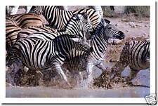 Zebra Rush - Animals Nature Wildlife Print   NEW POSTER