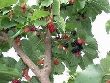 Morus nigra Black Mulberry Tree 10 seeds