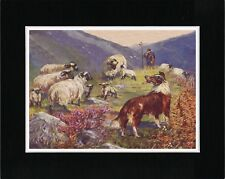 ROUGH COLLIE AND SHEEP LOVELY OLD STYLE DOG ART PRINT READY MATTED