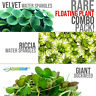 Rare Floating Plant Combo (Velvet & Riccia Water Spangles and Giant Duckweed)