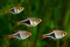 8+1 Rasbora-Harlequin Live Fish 2Day Fedex Shipping
