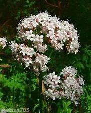 Graines Valériane , ( 10 graines ) plante médicinale