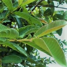 TEA - 100 Fresh Green GUAVA LEAVES - ORGANIC - No Chemicals, No Pesticides