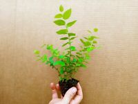 Blueberry Starter Plant ~REKA... Price includes 2 plants free shipping