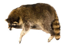 Raccoon Laying Professional Taxidermy Mounted Animal Statue Home or Office Gift