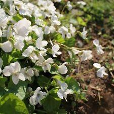 Viola odorata Reine de Neiges (Sweet Violet) - 25 seeds. Lovely fragrant plant.