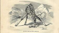 Stampa antica GIRAFFA 1891 Old antique print