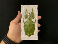 Phyllium giganteum A1 de Malaisie!! Entomologie Superbe Phasme Feuille