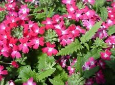 50 Seeds Verbena Obsession Coral With Eye Verbena Seeds