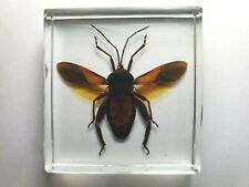 INDONESIAN COREIDAE . Leaf-footed bug. Mt. Argopuro, East Java Island