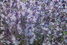 """10 Samen Schweizer Thymian """"Varico 2"""",Thymus vulgaris#481"""