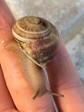 (2) Live Milk Snails! + Bonus! Pet Land Snail~Fun/Friendly/Educat ional/Pets