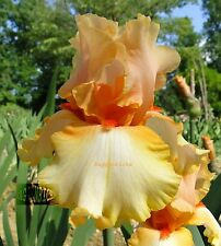 "Tall Bearded ""Captain Crunch"" Iris - Tangerine, Peach & Butter '03 * Pre-Sale"