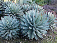 Agave Light Watering Cactus & Succulent Plants