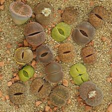 50 Lithops seeds Mix many different colors and patterns Living Stone seeds