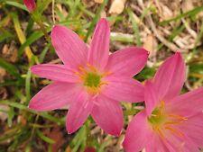 Rain Lily, Zephyranthes Rosea, 3 bulbs, RARE, habranthus