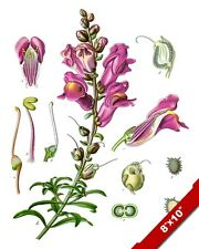SNAPDRAGON FLOWER PLANT PARTS ILLUSTRATION PAINTING ART REAL CANVAS PRINT