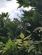6 Graines De Glycines Violette Wisteria Sinensis(bio)