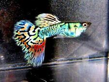 New listing Nebula Steel Guppy 4 Babies Metallic Rainbow of Colors