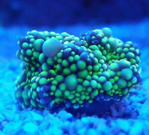 Live Coral Robbie's Corals Green and Purple Ricordea Mushroom Coral Frag