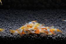 10 Orange Rili Live Aquarium Shrimp Neocaridina