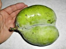 "5 SUNFLOWER PAWPAW SEEDS - Asimina triloba "" Sunflower """