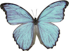 Taxidermy - real papered insects unmounted: Morphidae :  Morpho godarti assarpai