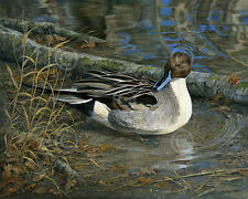 Pintail Drake by Karla Mann Art Print Poster Wildlife Duck Hunting 11x14