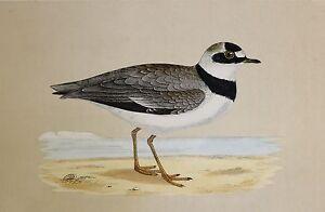c1875 ANTIQUE PRINT ~ LITTLE RINGED DOTTEREL HAND COLOURED British Birds Morris