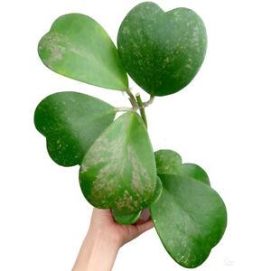 Hoya Kerrii Green Splash - Indoor Plant Houseplant Wax Plant