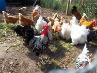 12 MIXED BREED  LARGE FOWL HATCHING EGGS