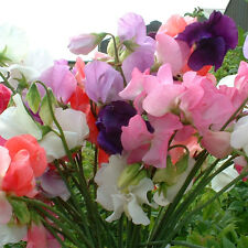 110 Flower Seeds Sweet Pea - Mammoth Mix Color beautiful Plant Garden Decor