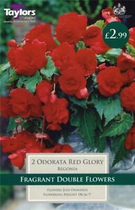 Taylors 2 x Begonia Odorata Red Glory Bulbs (1 Packet)