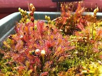 Über 30 Samen Drosera Intermedia winterharter mittlerer Sonnentau sundew seeds