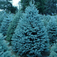 50pcs Evergreen Tree Colorado Blue Spruce Picea pungens Bonsai Seed Home  rlll
