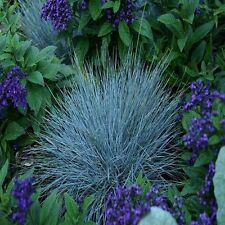 Blue Fescue Ornamental Grass Seeds (Festuca cinerea glauca Varna) 100+Seeds